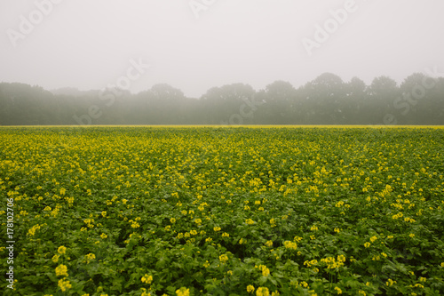 Yellow & Misty - 178102706