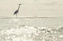 Great Egret (ardea Alba) Aka Great White/grey Heron In Maldives