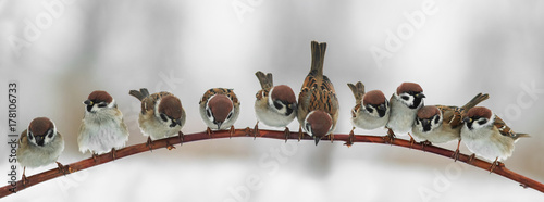 Photo  panoramic picture of funny cute birds sparrows sitting on a branch in the Park a