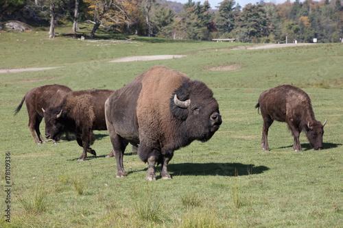 Foto op Canvas Bison bison at omega park in montebello
