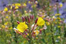 Evening Primrose (Oenothera Bi...