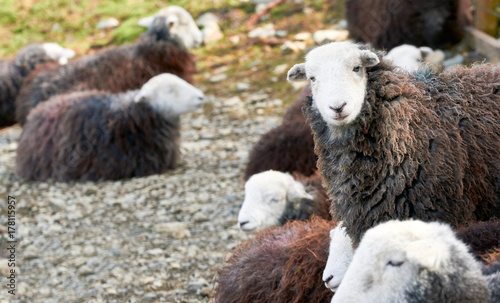 Photo A flock of Herdwick Sheep lying down on the rocky mountain ground in the English Lake District