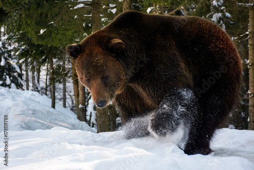 Plakát  brown bear searching something in the snow