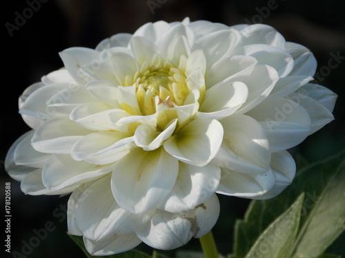 Poster de jardin Dahlia white flower of dahlia