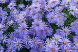 Fototapeta Kwiaty - Astry kwiaty jesieni