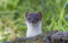 Curious Weasel Looks Out From ...