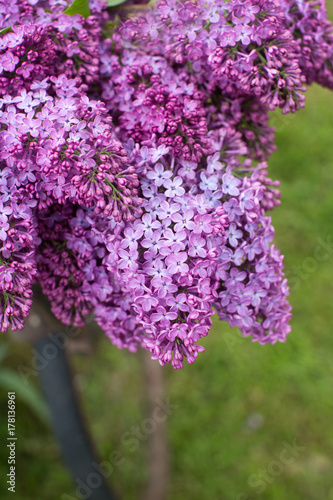 Lilacs on a vintage bicycle