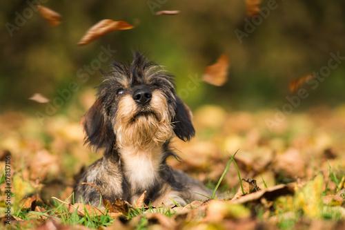 Plakat Jamnik w jesiennych liści