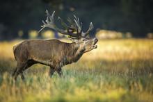Deer, Hunting Season, Deer Rut