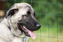 Anatolian Shepherd Dog