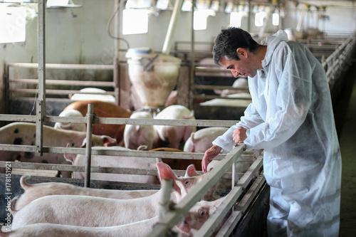Fotografie, Obraz  Veterinarian Doctor Examining Pigs at a Pig Farm