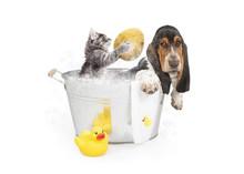 Kitten Washing Basset Hound In...