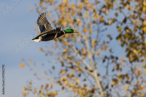 Mallard Duck Flying Past The Autumn Trees Kaufen Sie Dieses Foto