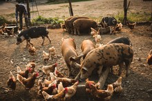 Pigs And Hens Eating Food