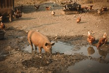 Pigs And Hens Eating Food In F...