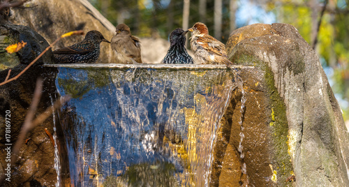 Earth Tones on a Quartet Of Starlings and Sparrows Taking a Bath in a Small Stre Wallpaper Mural