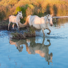 White Horse And Foal Running In A Lake, With The Reflection In The Water