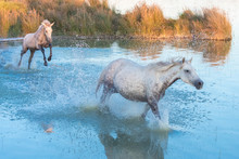 White Horse Running And Foal Jumping In The Water, In The Swamps In Camargue, In The Evening