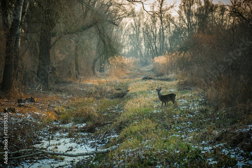 Crédence de cuisine en verre imprimé Roe Winter day in forest with snow covered ground and roe deer