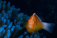 Pink Anemone Fish Looks Direct...