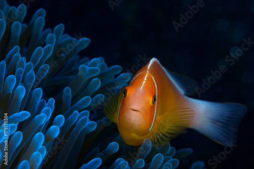 Foto Pink anemone fish looks directly at the camera while staying close to it's host