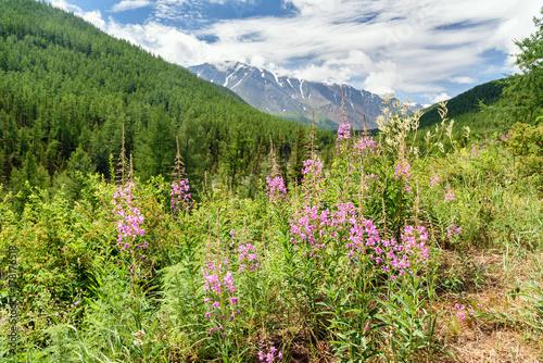 Plakat Chamaenerion angustifolium na górze. Widok z North-Chuiskiy Range. Republika Ałtaju, Rosja