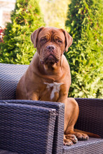 Dogue De Bordeaux Sitting In The Rattan Furniture After She Chewed It.