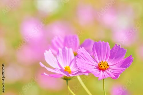 Fototapety, obrazy: コスモスの花