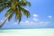 Coconut palm tree on Maldives island