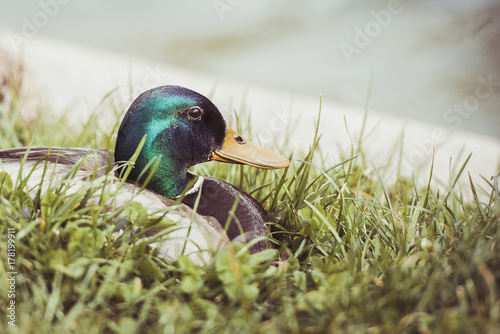 Fotografering  Canard col vert