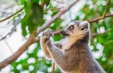 Portrait Of Ring-tailed Lemur ...
