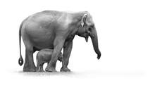 Black And White Photo, Sri Lankan Elephant, Elephas Maximus Maximus, Mother Protecting New-born Elephant, Isolated On White Background. Yala National Park, Sri Lanka.