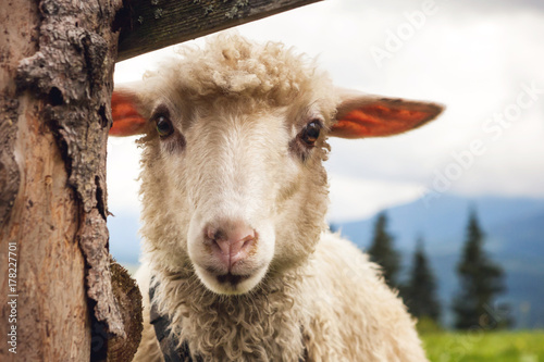 Portrait of funny sheep looking at camera.