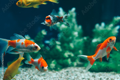 Photo Yellow and Red Goldfish Swimming In Aquarium