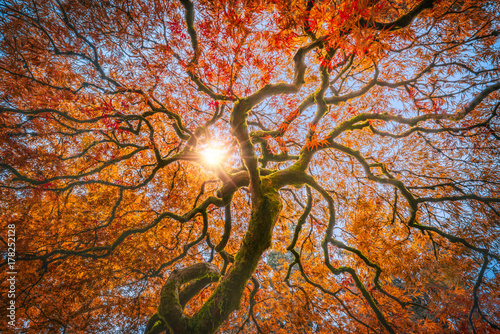 Photo  Red Dragon Japanese Maple in autumn colors