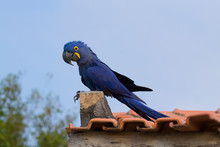 Couple Of Hyacinth Macaw, Braz...