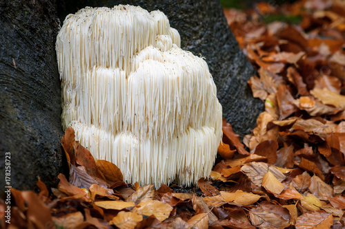 Rare Lion's mane mushroom in a Dutch forest