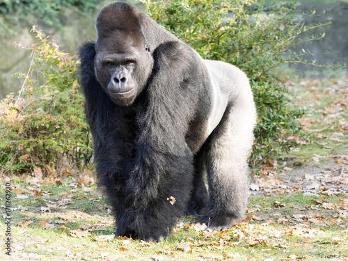 Fotografia Strong silver-beck male Western Lowland Gorilla, Gorilla