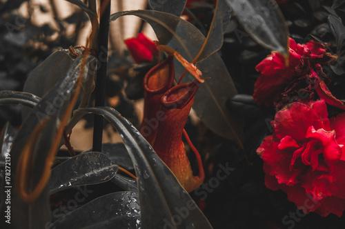 Carta da parati Color isolation effect of Nephentes Alata, carnivorous plant and azalea flower