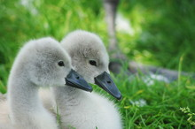 Young Baby Swans Called Cygnets