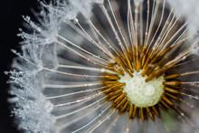 Dandelion After The  Rain