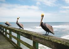Pelican Trio On An Ocean Pier