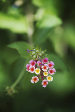 Macro Catch Of Bicolor Pink And Yellow Lantana Flower Head In Bloom On Shrub