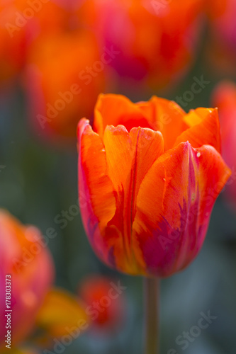Foto op Canvas Baksteen Nature and Botanical Concepts. Macro Shot of Dutch Tulip of Hermitage Sort Against Blurred Background. Located in Keukenhof National Park in the Netherlands.