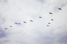 Canada Geese Migrating Against...