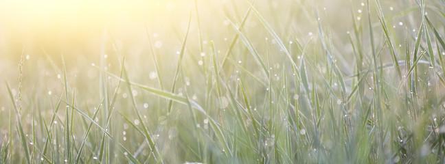 Green grass with morning dew macro bokeh
