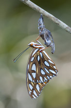 Gulf Fritillary Butterfly,  Me...