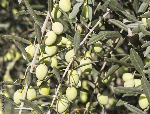 Tuinposter Olijfboom branch of olive tree with ripe green berries