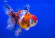 canvas print picture - Lionhead goldfish or lionhead goldfish with black spot