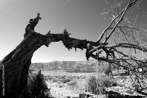 Zdjęcie XXL Suche drzewo na pustyni.